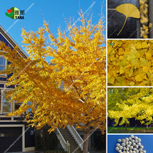 3pcs/bag  Gold Ginkgo Biloba Tree Seeds Beautiful Foliage Plants Perennial Unique Species Tree Seed bonsai home plant все цены