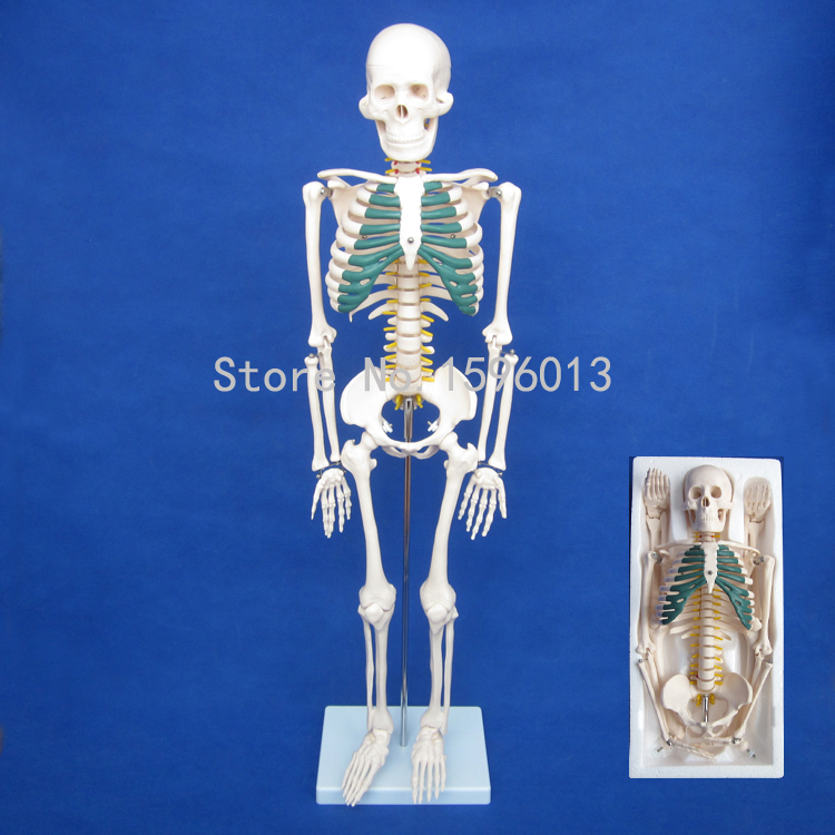 HOT Human 85cm Skeleton with Spinal Nerves Model, Human Skeleton Model bix a1005 human skeleton model with heart and vessels model 85cm wbw394