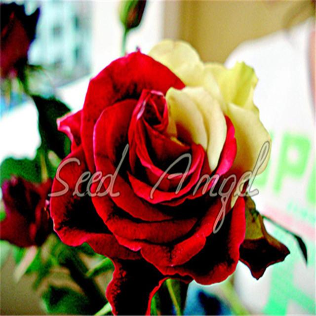 Rosa Climbing Plants Polyantha Rose Chinese Flower bonsai Climbing Roses bonsai 200 Pcs/bag Diy Very Easy Plant For Garden bonsa