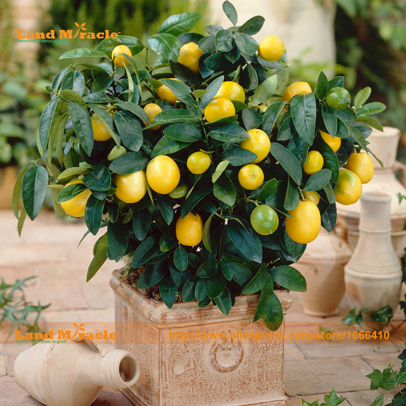 Bonsai Orange Tree Seed, 10 Seed/Pack, Extra-tasty,Extra-sweet, Organic Fruit Tangerine Seed For Garden & Balcony-Land Miracle