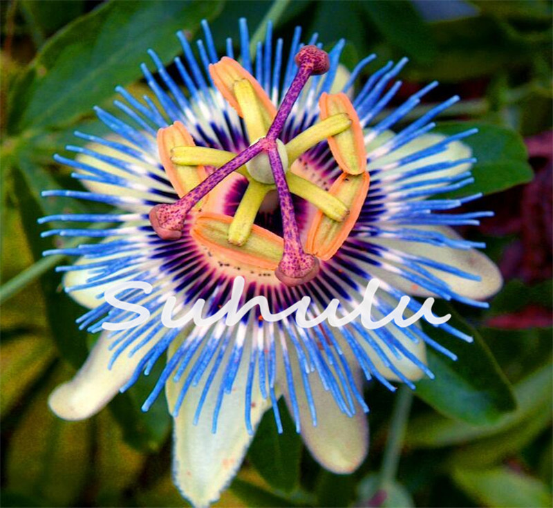 10 seeds exotic passion fruit seeds purple passiflora edulis passion 10 seeds exotic passion fruit seeds purple passiflora edulis passion flower mightylinksfo