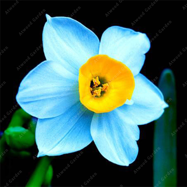 Zlking 100 Pcs Daffodil A Variety Of Colors Absorption Radiation Bonsai Narcissus Flowers For Planting Perennials