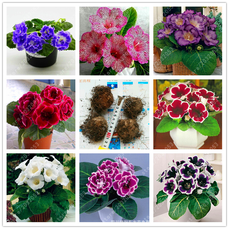 True gloxinia bulbs, sinningia gloxinia plant, bonsai flower bulbs, good Bulbous Root (not gloxinia seeds) balcony pot - 2 pcs