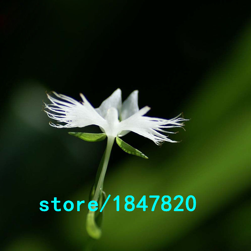Hot selling rare egret flower seeds bonsai plants white dove orchid hot selling rare egret flower seeds bonsai plants white dove orchid seeds garden terrace for diy home garden flower seeds 100pcs in bonsai from home mightylinksfo