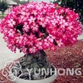 Desert Rose bonsai,potted flowers plant,Adenium Obesum color optional 100% true plant in-kind shooting,1 pcs/bag 99% Mix Colors