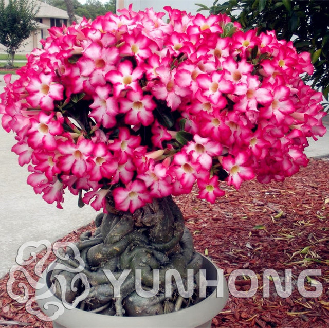 Desert Rose Bonsai Potted Flowers Plant Adenium Obesum Color Optional 100 True