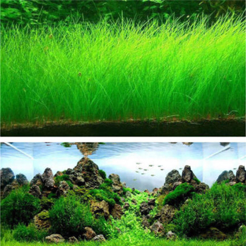 Fish Tank Aquarium Plant Seeds Aquatic Water Grass Decor Rock Lawn Garden Foreground Pla ...