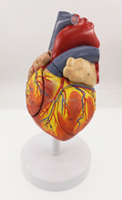 Human Anatomical Life size  2 Times Life Size 4 parts Heart Anatomical anatomy skeleton veterinary brain anatomia skull