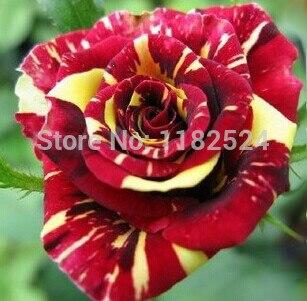 100pcs - China Rare Meteor Shower rose seeds Rose Flower seeds Meteoro Rose Semillas