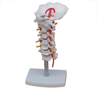 Cervical vertebra model Cervical spine with neck artery occipital bone disc and nerve model human skeleton anatomical model