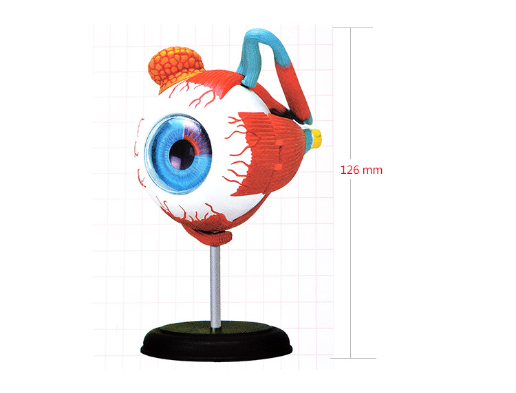 puzzle anatomical model of the human eye - human eye anatomical model assembled human anatomy model eye puzzles structure human skeleton anatomical model