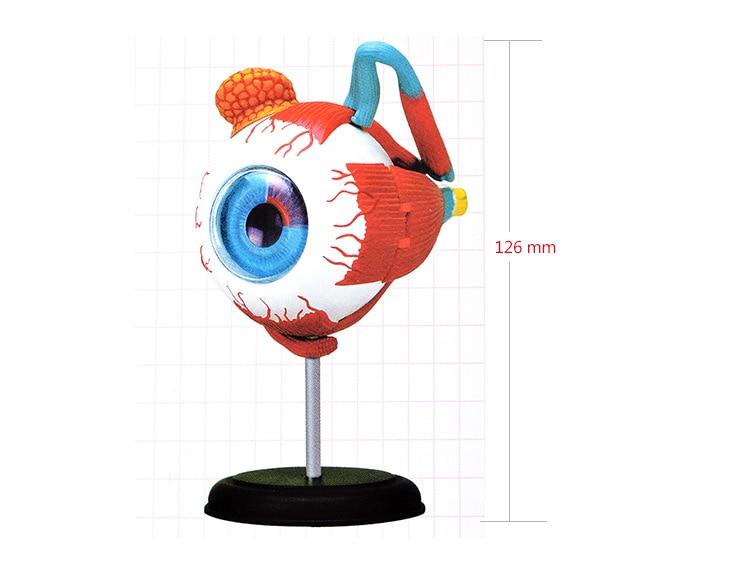пазл анатомическая модель глаза человека - human eye anatomical model assembled human anatomy model eye puzzles structure human skeleton anatomical model