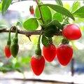 20 Sementes de GOJI BERRY Orgânica Fácil de Crescer Fresco
