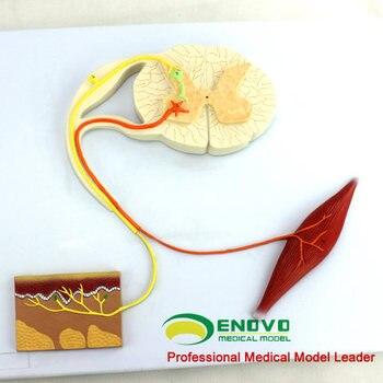 Model of reflex arc of human medical nerve The central nerve conducts psychological nerves