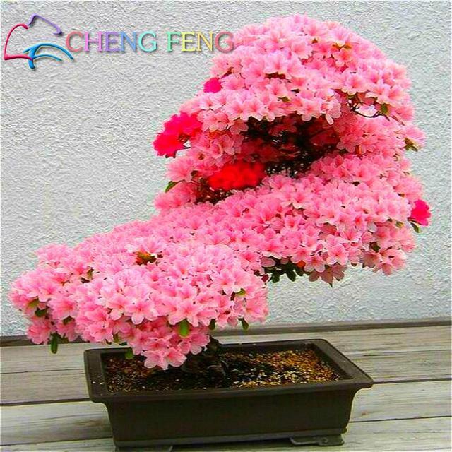 10 Pcs japonais Sakura graines de fleurs rares arbre de cerise fleurs japon  semences jardin bonsaï
