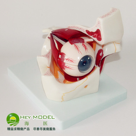 Eye anatomy model ophthalmic eye model eyeball and orbital ocular ...