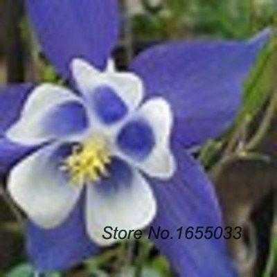 tốt nhất nảy mầm giống cây cảnh lạ 50 cây lâu đẩu aquilegia caerulea màu  xanh