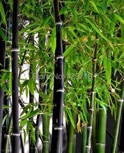 Buy     Bambusa Lako tree seeds for home garden  online