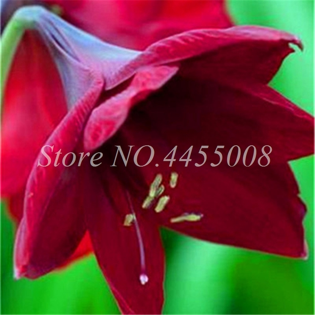 Amaryllis Flower Seeds (500 Pieces)