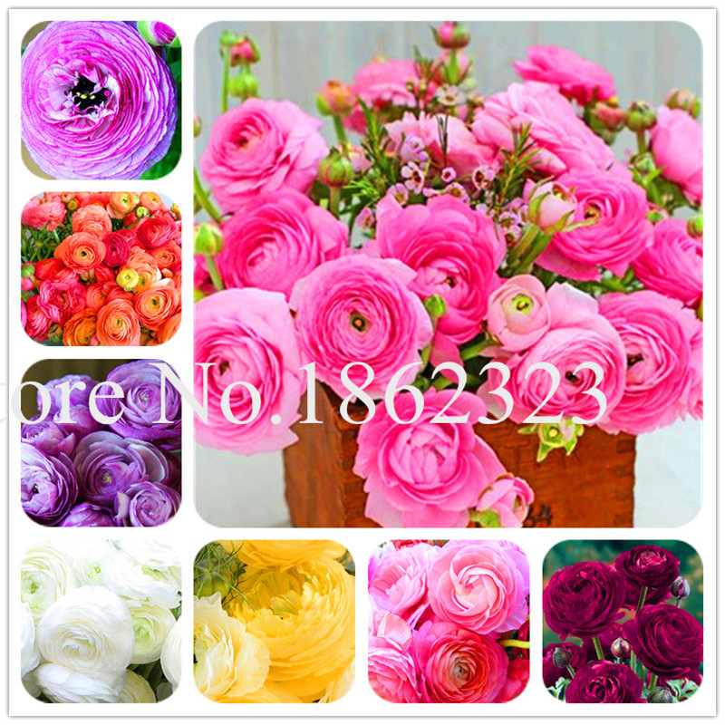 100 Pcs Rouge Ranunculus Flower Bonsai, Indoor Bonsai Plant, Home DIY Persian Buttercup Potted Plant, Flower Bulbs Free Shipping