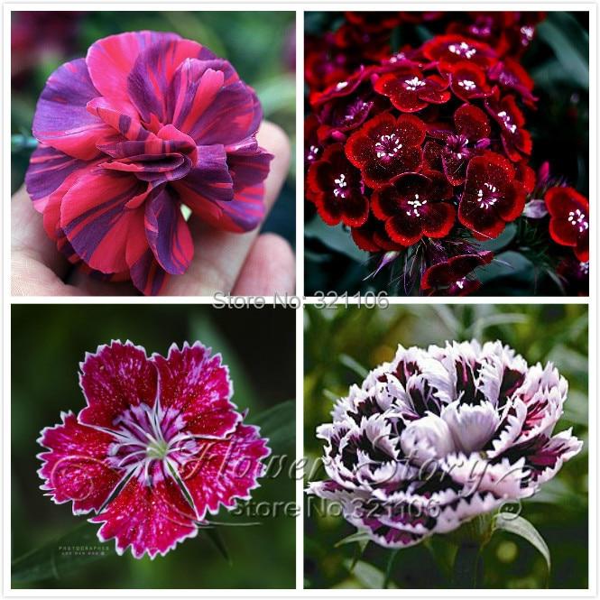 эухарис цветок цена