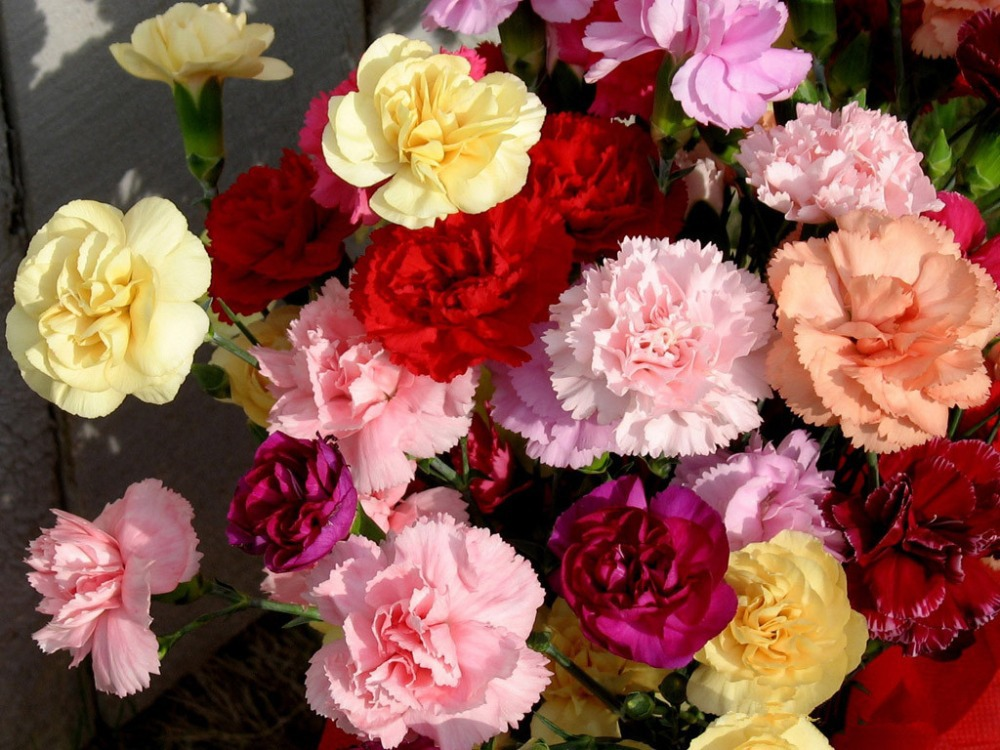 aliexpresscom buy 30 seeds mixed color carnation flower seeds original packaging beautiful lovely flowers seed for home garden free shipping from - Carnation Flower Colors