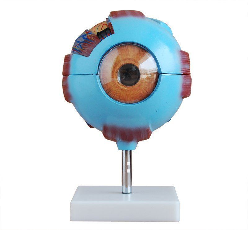 Free shipping Giant Eye Model medical science model Eye Anatomical model Giant eye model детский солнцезащитный крем eco earth power mild kids sun cream spf32 pa 60 гр the saem