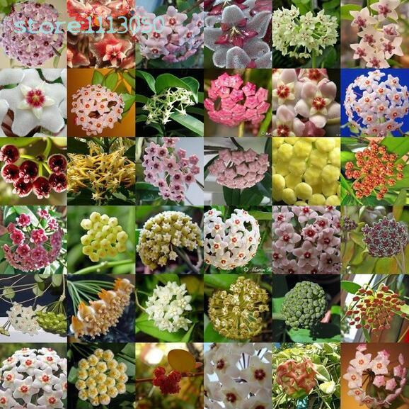 200pcs/bag Hoya Seeds,potted Plants Bonsai Seeds,flower Seeds For Sale Home Garden Farm