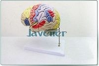 Magnify Human Anatomical Brain Anatomy Medical Model Professional Stand