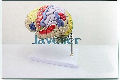 Magnify Human Anatomical Brain Anatomy Medical Model Professional + Stand human female pelvic section anatomical model medical anatomy on the base