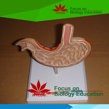Medical teaching supplies quality biological Anatomical pathology stomach model