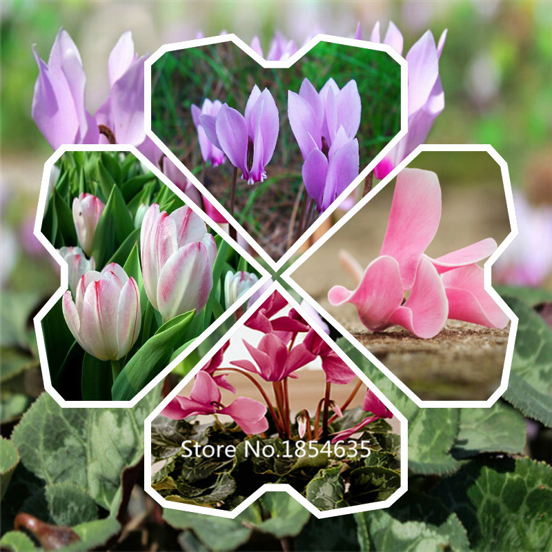 Garden Plant  Free shipping 100 Cyclamen seeds, flower seeds, new plants Bonsai Seed
