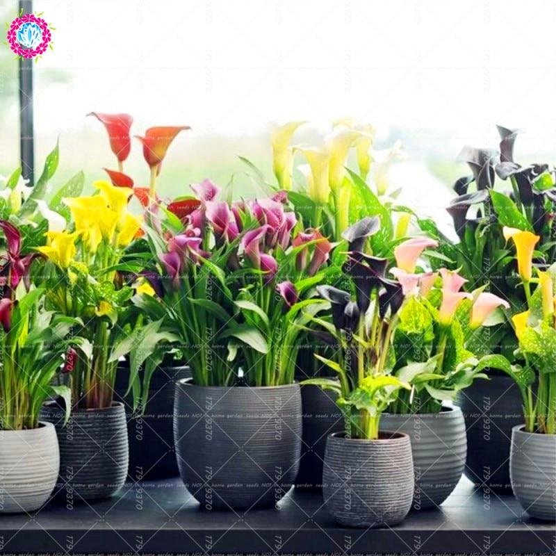 100pcs rainbow Calla flower seeds Bonsai plant mix coloe indoor&outdoor flower For Home garden pot plant Zantedeschia aethiopica