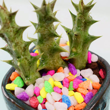 New Arrival!200/pcs rare mini Dragon horn seeds funny succulents plant bonsai seeds lithops Living Stone flower easy to grow