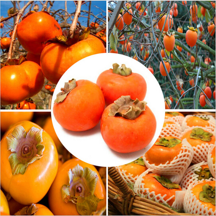 Vegetable seeds japanese persimmon fruit tree seeds Decoration kaki