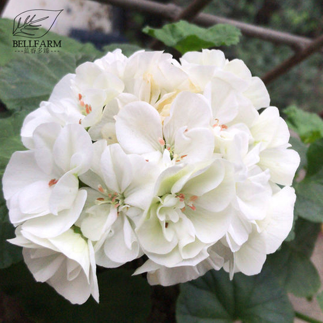Bellfarm geranium fully milky white double petals fragrant perennial bellfarm geranium fully milky white double petals fragrant perennial flowers 10pcs seeds big mightylinksfo