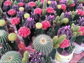 Compra mini cactus cuidado online al por mayor de china for Suculentas por mayor