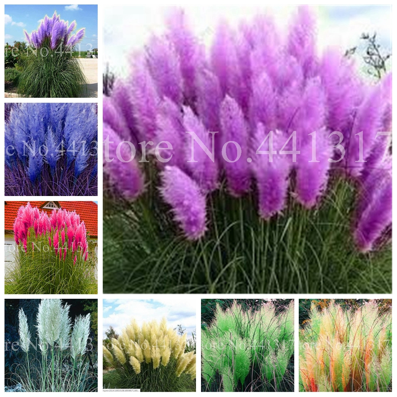 1000 Pcs/ Lot New Rare Mixed Pampas Grass Planta Ornamental Flower Plant Bonsai Potted Cortaderia Selloana Grass DIY Home Garden