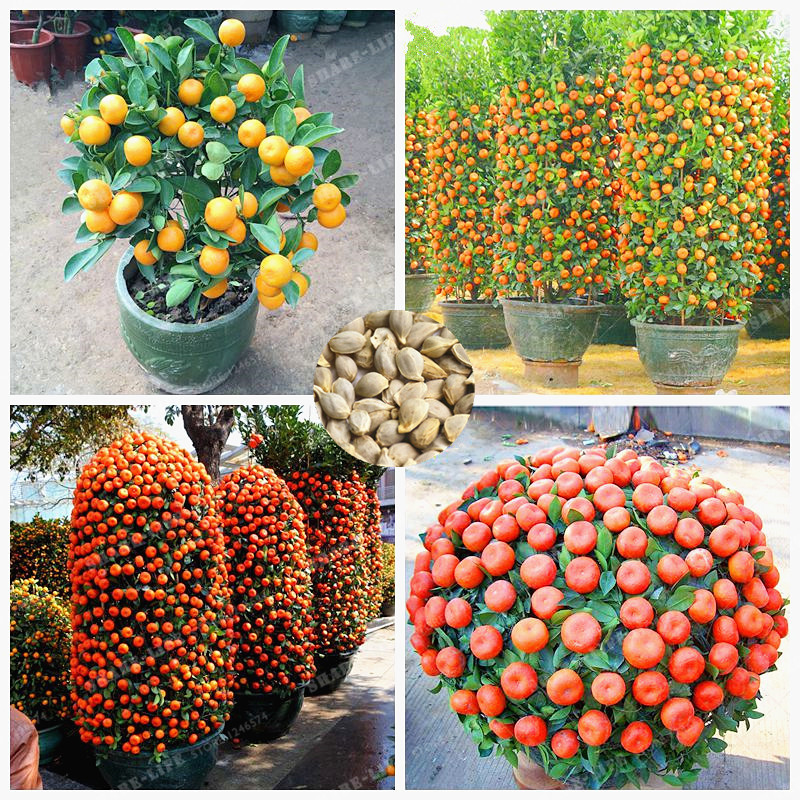 30 Pcs/Bag Orange Seeds Climbing Orange Tree Seed Bonsai Organic Fruit Seeds Like A Christmas Tree Pot For Home Garden Plant
