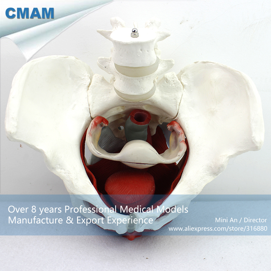 No. 12344 , Female Pelvis Muscle , Mini Medical Science Didactic Pelvic Model , CMAM china medical anatomical models