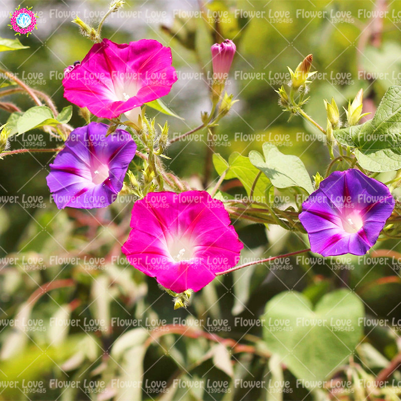 50 pcsbag blue morning glory plant perennial flower easy growing 50 pcsbag blue morning glory plant perennial flower easy growing plants home garden plant climbing bonsai morning glory plant in bonsai from home garden mightylinksfo