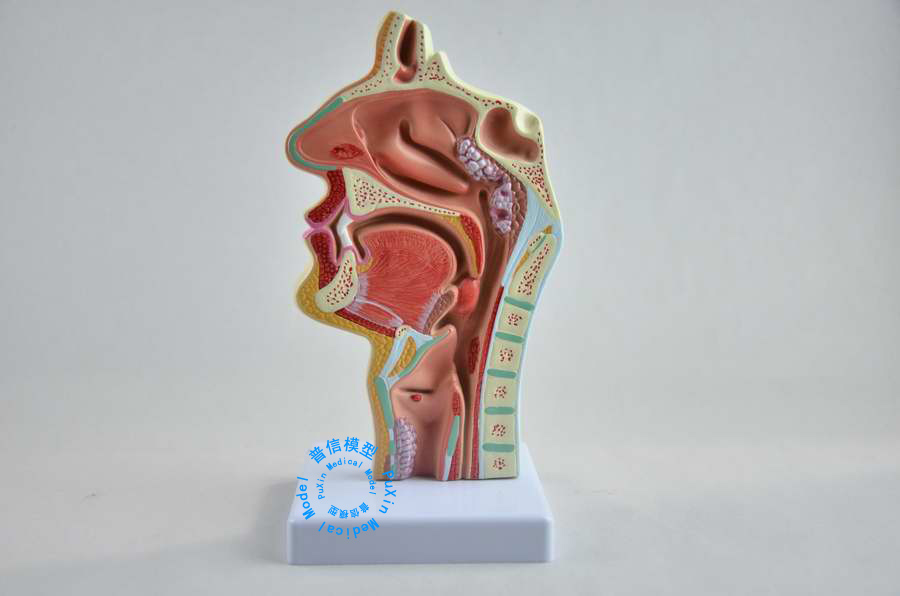 Free shipping Head anatomy The nose throat lesions in lateral vascular neural model oral pathology model