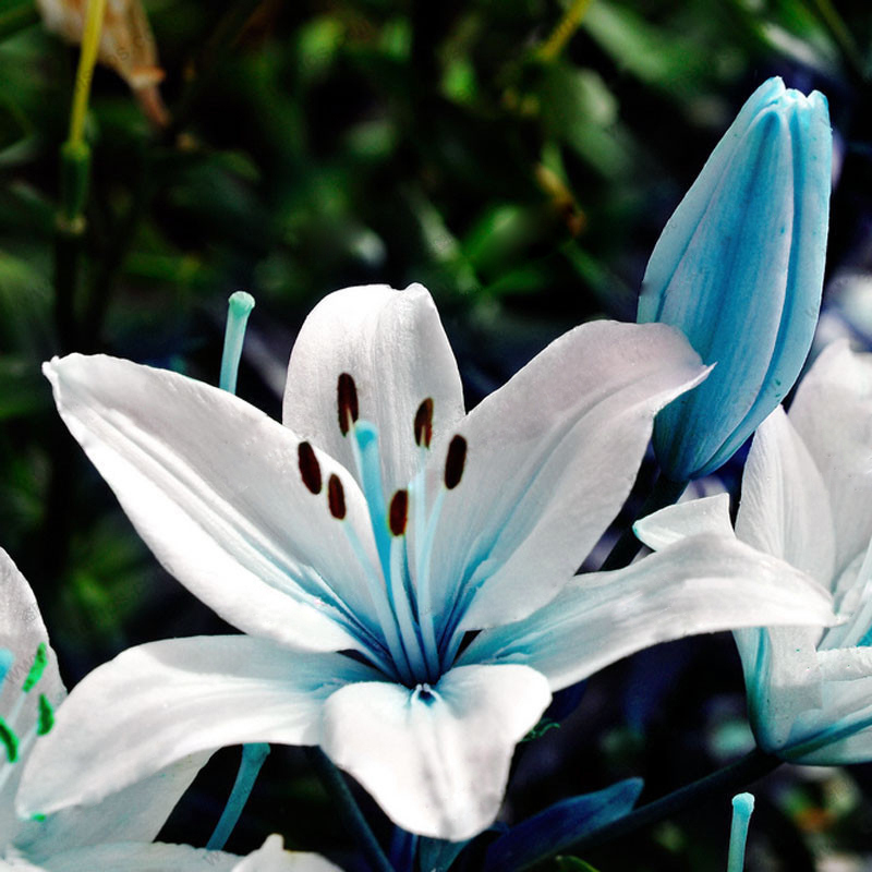 Popular blue lily flower buy cheap blue lily flower lots for Buy black and blue roses