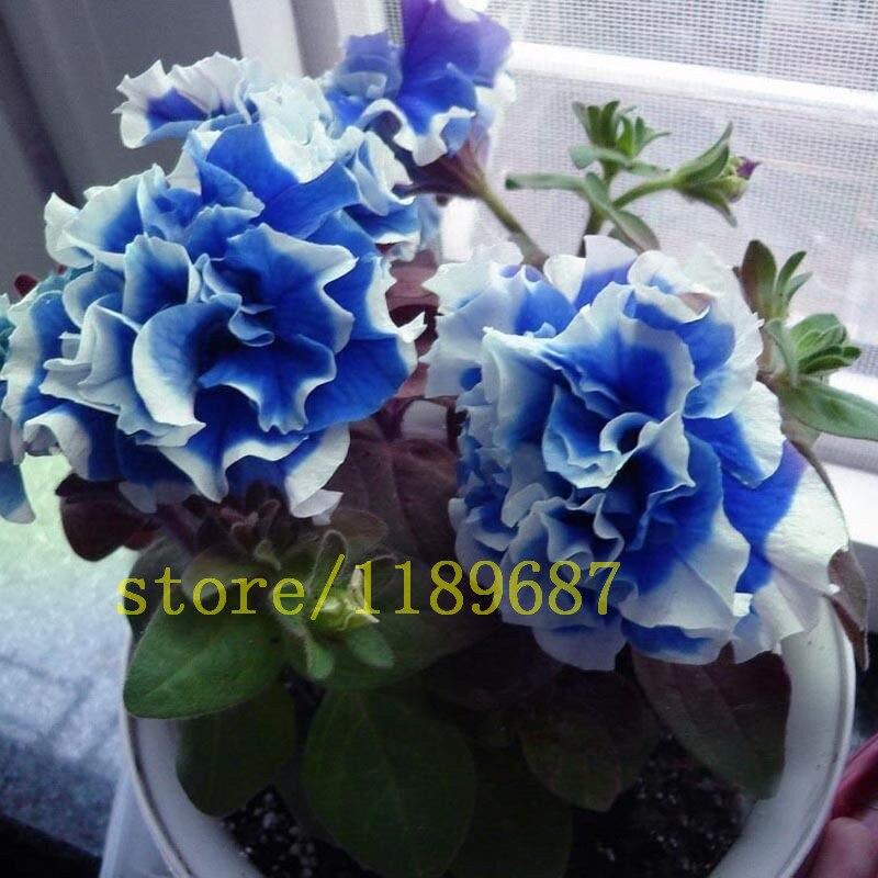 100 pcs garden petunia seeds flower Petunia Petals,Annuals,Four Seasons Can Be Planted rare seeds for home garden