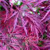 "20 pcs/lot.""Crimson Queen"" Japanese Maple Seed ,free shipping"