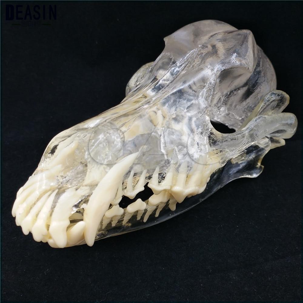 Teaching Veterinary Animal model specimens Dog Dentition Model The dog teeth skull jaw bone transparent solution