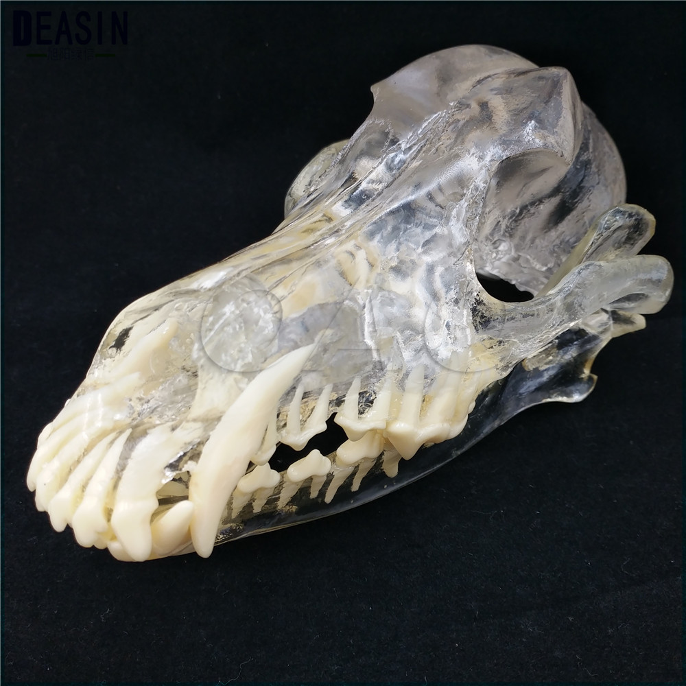 Teaching Veterinary Animal model specimens Dog Dentition Model The dog teeth skull jaw bone transparent solution planing shunzaor dog ear lesion anatomical model animal model animal veterinary science medical teaching aids medical research model