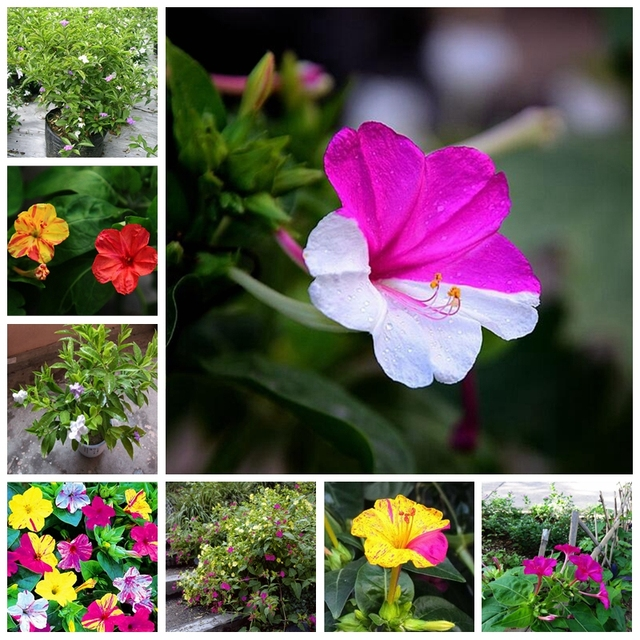 Hot Sale 20 Rainbow Planta Bonsai Vaso de Plantas de Jasmim Mirabilis Jasmim Perfumado Planta Mista para DIY Home Decoração Jardim Pote