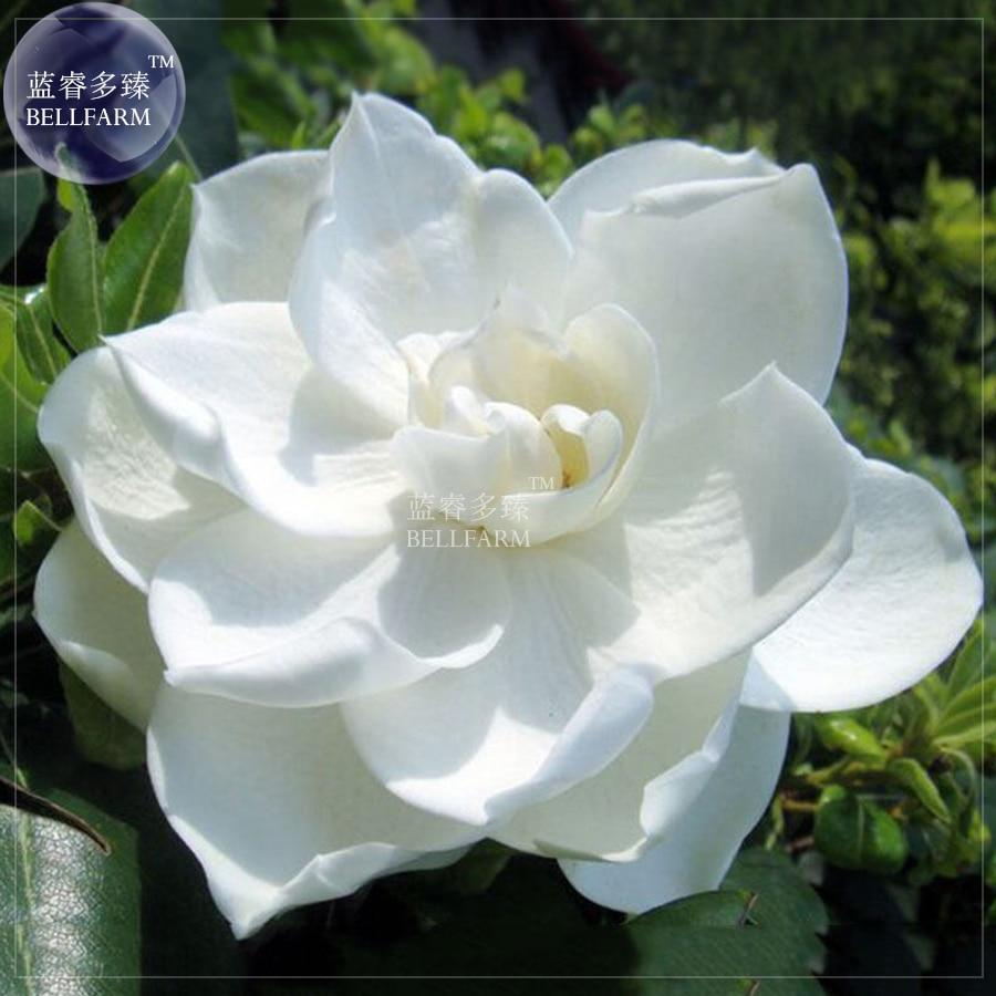 Bellfarm 50pcs White Gardenia Cape Shrub Flower Seed Beautiful