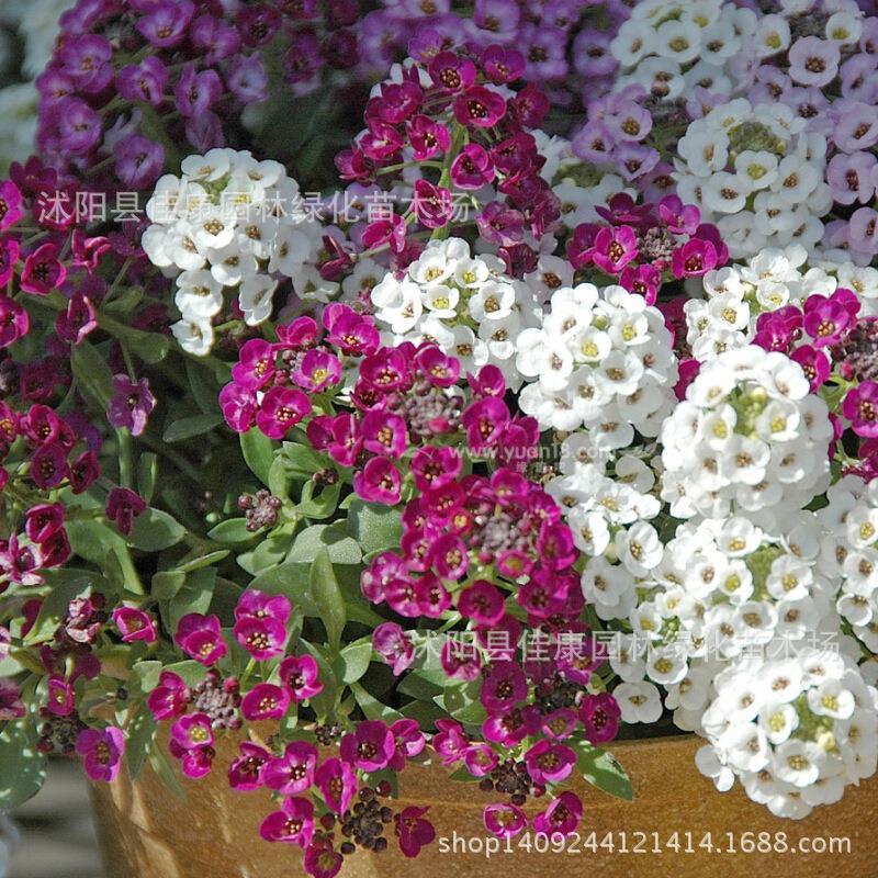 Authentique fleur plante une herbe cour Hornsey boule moutarde plante petite boule blanche Yudie bonsaï 200 g/paquet